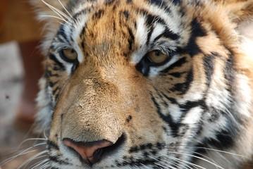 Watching Tiger