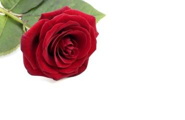 rote Rose mit Textfreiraum
