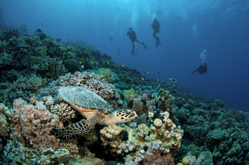 sea turtle and scuba divers on pristine coral reef