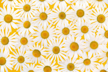 Fresh daisies over yellow background