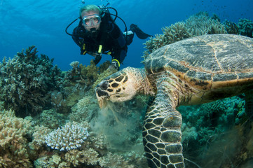 scuba diver having fun with sea turtle