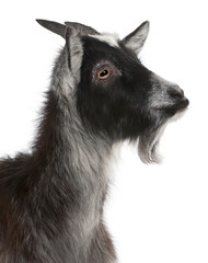 Close-up of Common Goat from the West of France