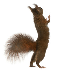 Poster Eekhoorn Eurasian red squirrel on hind legs, Sciurus vulgaris