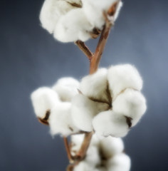COTTON CLOSEUP WITH BLACK BACKGROUNND