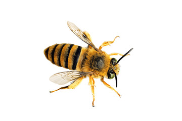 Teddy Bear Bee, Amegilla asaropoda, wingspan 21mm