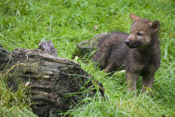 Wolfswelpen ( Canis lupus )