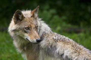 Wolfsrüde ( Canis Lupus )