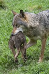 Wölfin und Welpe ( Canis lupus )
