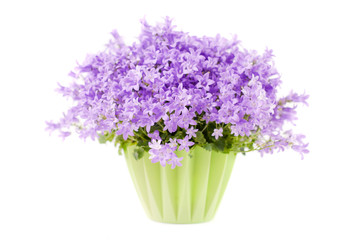 Campanula flowers isolated on white background