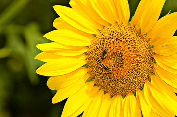 Yellow sunflower is pollinated by bees