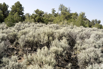 Sagebrush Sage Bush Tree New Mexico, United States