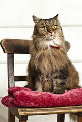 Cat with imperial demeanor on antique school chair
