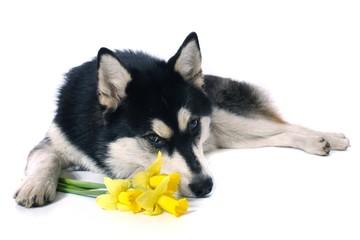 träumender Hund Husky & Narzissen