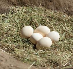 bird eggs in the nest