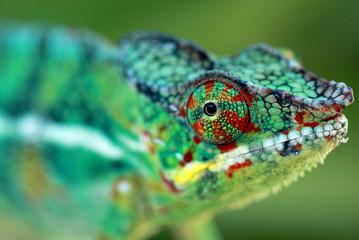 Photo sur Plexiglas Cameleon chameleo pardalis, caméléon