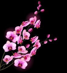 Orchid pink flower isolated on black background