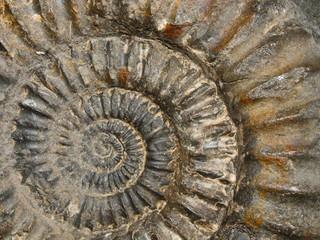 Printed kitchen splashbacks Spiral Ammonit