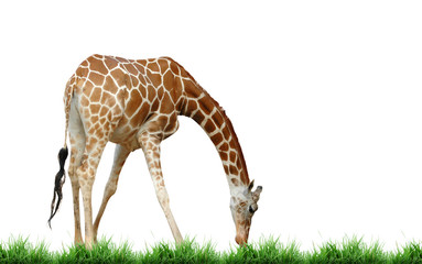 Wall Mural - giraffe with grass isolated