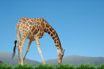 Wall Mural - giraff eat grass