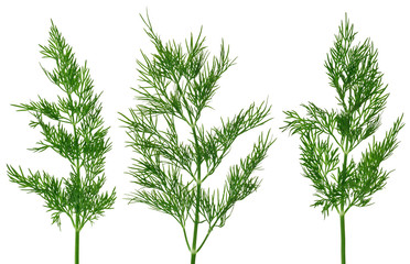Fresh green fennel twigs, isolated