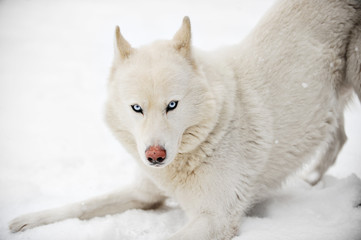 White huskey close up winter photo