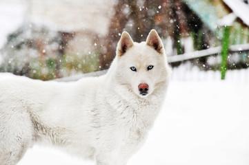 White huskey close up winter photo