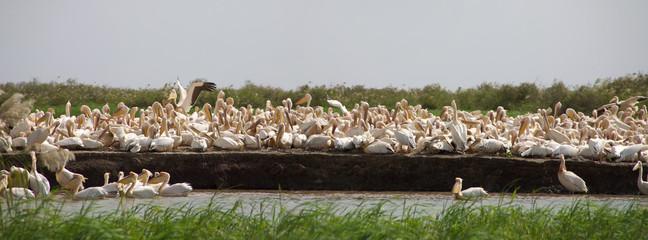 Pelicans in the Djoudj National park