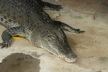 Door stickers Crocodile Krokodil in Nahaufnahme