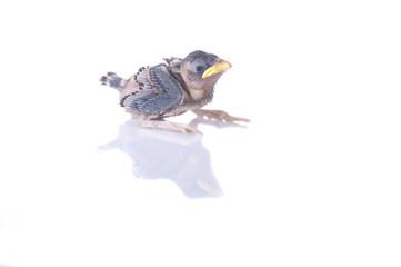 brood sparrow