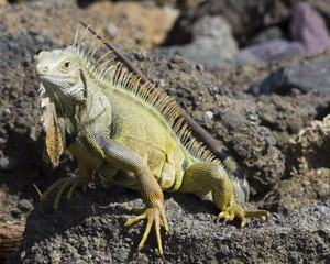Iguana sunning on rocks