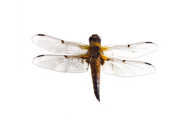 Dragonfly close up on a white background