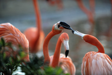 Flamingos fight.