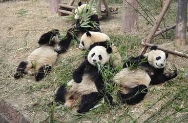 China Panda 中国熊猫