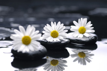 Poster Spa therapy stones with chrysanthemums flowers