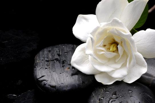 Still life macro of camellia