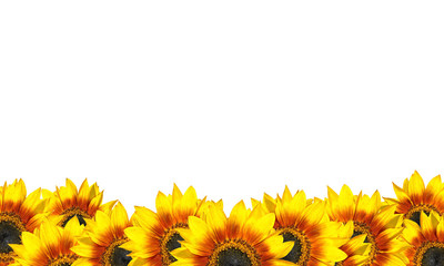 Row of Beatiful Sunflowers Isolated on White