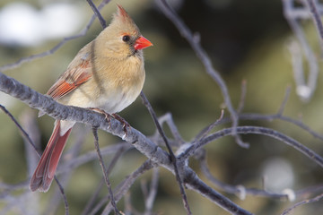 Cardinal - Female Northern