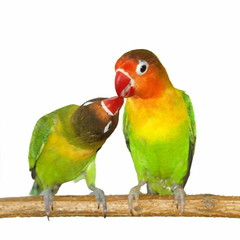 Kiss Lovebird isolated on white background Agapornis fischeri