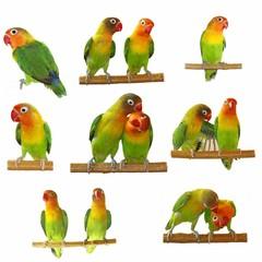 Set lovebirds agapornis-fischeri isolated