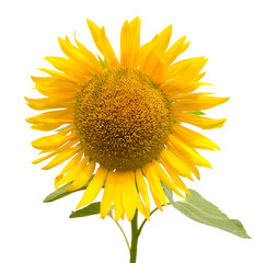 sunflower, isolated on white