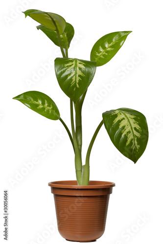 Dieffenbachia zimmerpflanze stockfotos und lizenzfreie bilder auf bild 30056064 - Zimmerpflanze rankend ...