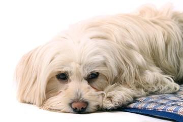 kleiner träumender Hund