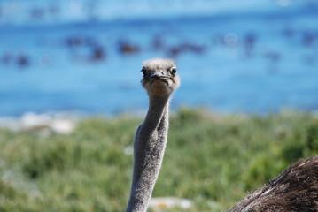 Ostrich on the beach