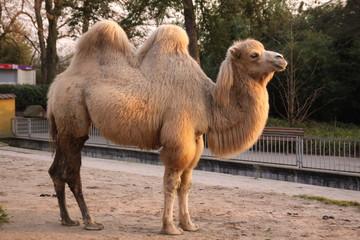Kamel in Nahaufnahme