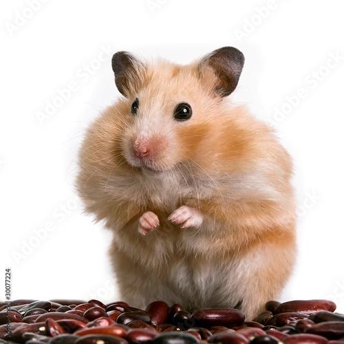 hamster stockfotos und lizenzfreie bilder auf fotolia. Black Bedroom Furniture Sets. Home Design Ideas