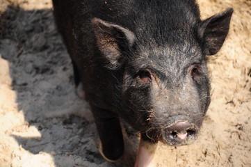 head of black pig
