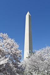 Cherry Blossoms Around Washington DC Monument USA