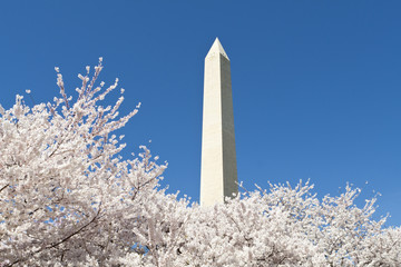 Japanese Cherry Tree Blossoms Washington Monument