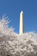 Cherry Blossoms Around Washington DC Monument