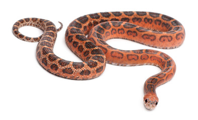 Scaleless Corn Snake, Pantherophis Guttatus